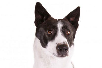 Cão de Canaã preto e branco