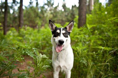 Cão de Canaã sorrindo