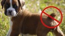 caudectomia-em-cachorros