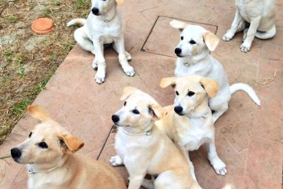 Filhotes Cão de Canaã