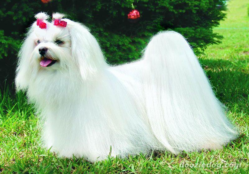 Cachorros para pessoas idosas - Maltês