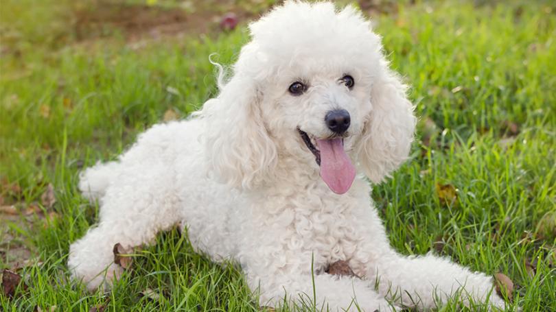 Cachorros para pessoas idosas - Poodle