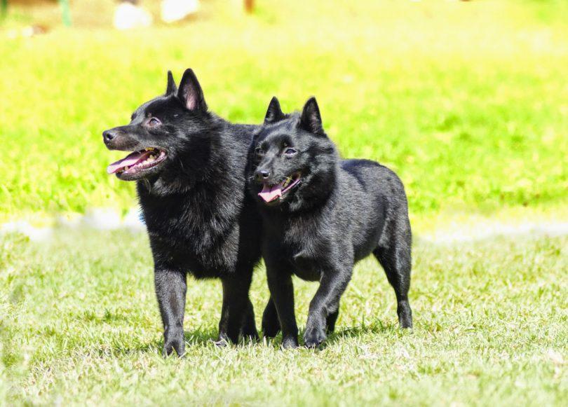 Cachorros para pessoas idosas - Schipperke