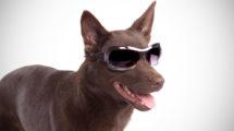 Adestrar cachorro cego