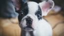 otohematoma em cachorros