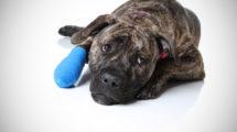 Primeiros socorros queimaduras em cachorro