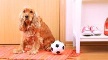 Babesiose em cães