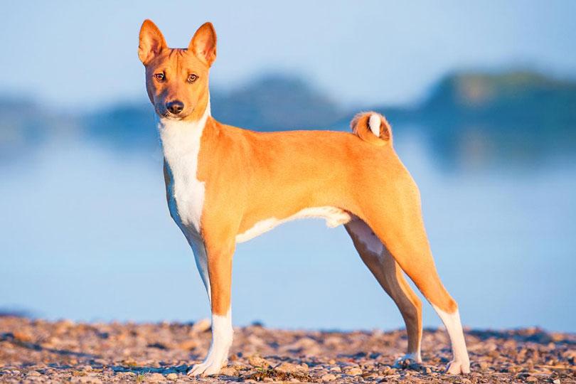 Basenji cachorro