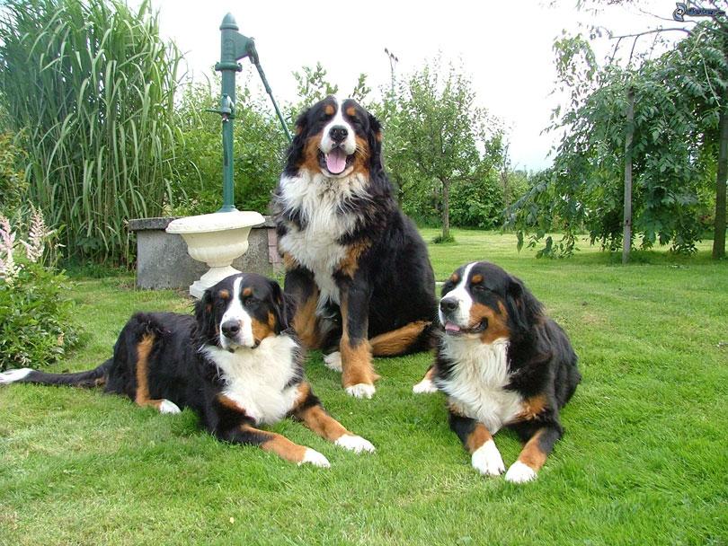 Boiadeiro de Berna cachorros