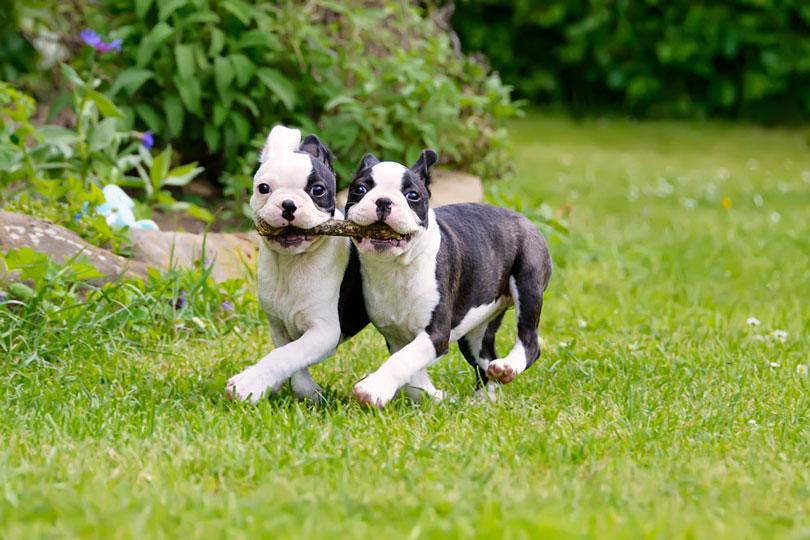 Boston Terrier filhotes
