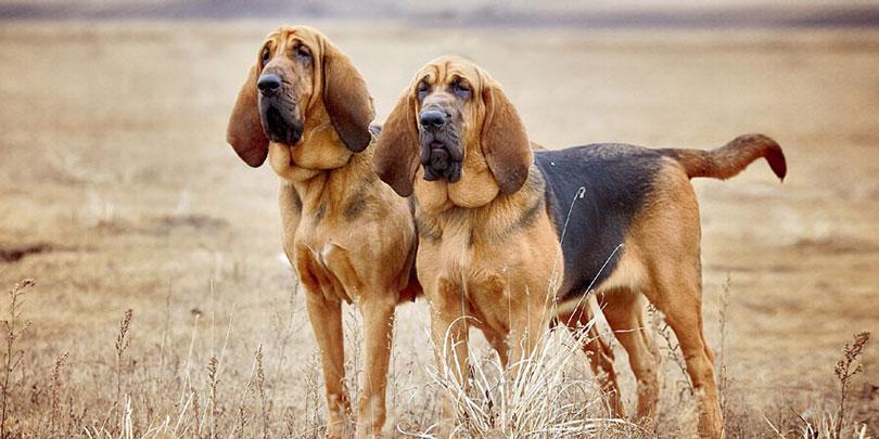 Cão de Santo Humberto (Bloodhound)