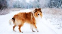 Collie cachorro