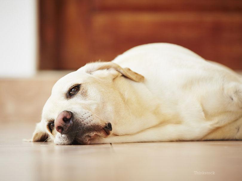Demência canina