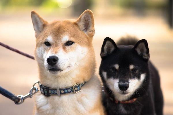Esporotricose em cachorros