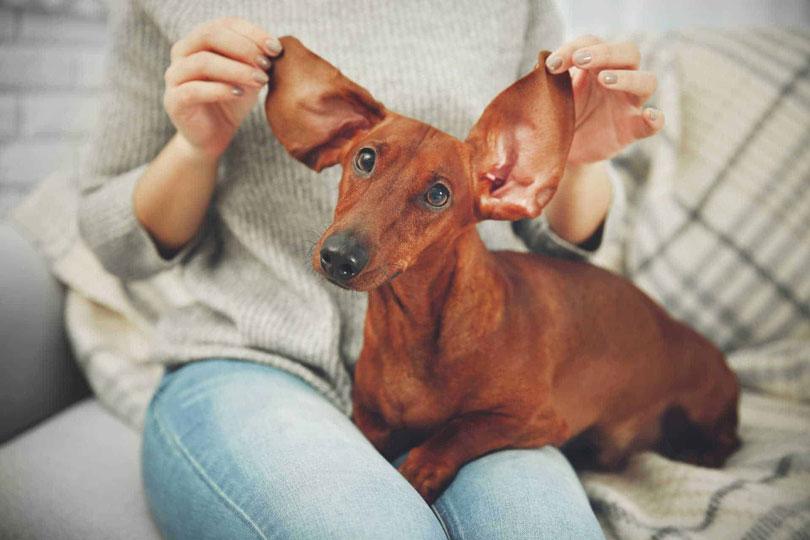Limpar orelha de cachorro