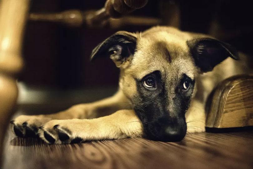 Raças de cachorro mais ciumentas