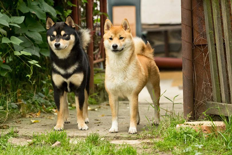 Shiba Inu cachorros