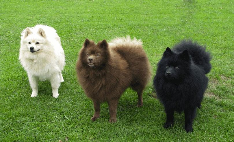 Spitz Japonês cachorros